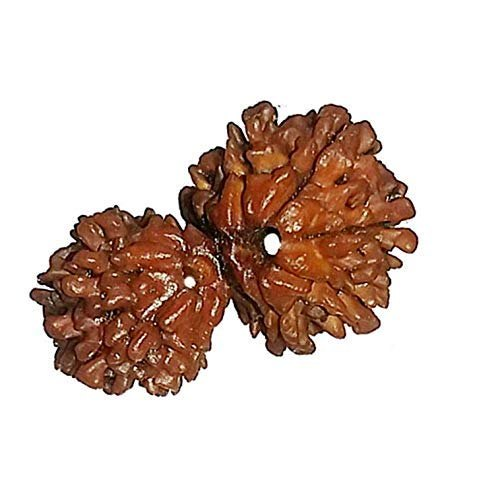 Gauri Shankar Rudraksha With Lab Report
