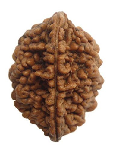 Two Mukhi Rudraksha With Lab Report