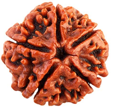 Five Mukhi Rudraksha With Lab Report