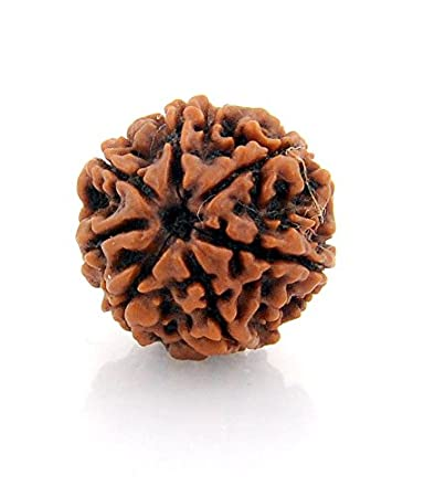 Seven Mukhi Rudraksha With Lab Report